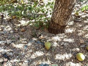 Fallen pears
